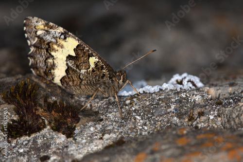 Valokuva Macrophotographie de papillon - Silene (Brintesia circe)
