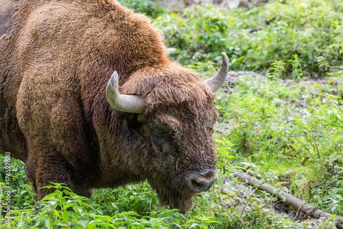 Foto op Canvas Bison portrait of a male european bison (wisent)