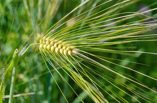 Ripe ear of barley six-row closeup