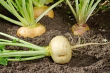 Turnips Growing In The Garden