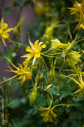 Photo Golden columbine (Aquilegia chrysantha)