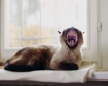 Cat Yawns While Laying On Blanket On Windowsill