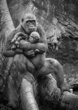 Western Lowland Gorilla Mother And Baby