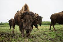 Buffalo In The Morning