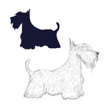 Scottish Terrier Sketch And Si...