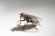 Housefly In White Background