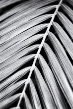 Grainy B&w Of A Palm Leaf