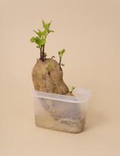 Growing Sweet Potato
