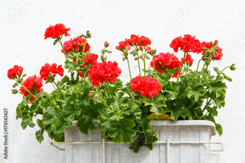 Red Pelargonium flowers.