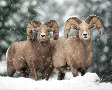 Snow Buddies-Bighorn Sheep Rams