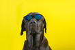 Leinwandbild Motiv Isolated funny and cute young black labrador wearing sunglasses looking at camera on yellow background