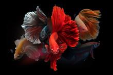 Siamese Fighting Fish On Black Background.