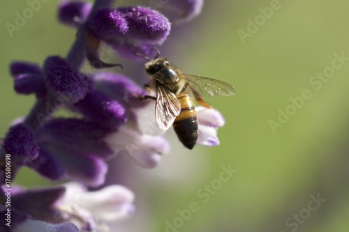 Honey bee gathering pollen on purple Mexican sage flowers