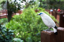 White Bali Mynah Bird At The E...