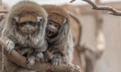 Photo Pair of  Bolivian Titi Monkeys in a Tree