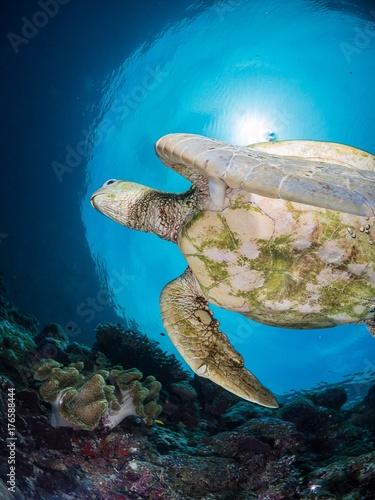 Obraz na dibondzie (fotoboard) zielony żółw morski na rafie z sunburst