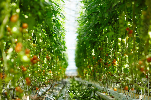 Aisle in hothouse dividing plantation of all year round grown tomatoes Canvas Print
