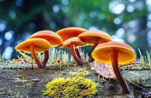 .Inedible Psathyrella Mushrooms Grow On An Old Rotten Tree.