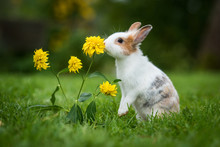 Little Rabbit Smelling A Flowe...