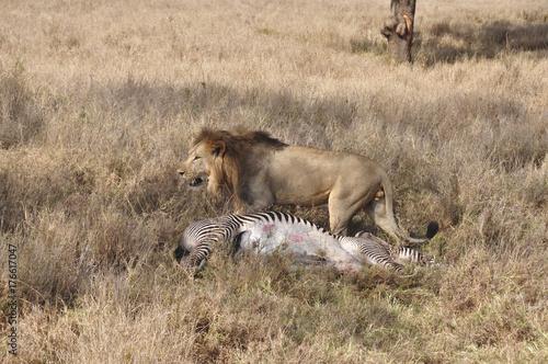 Photo Lion rests after killing zebra