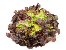 Red Oak Leaf Lettuce Front Vie...