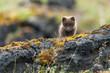 Cute Arctic Fox in mossy landscape