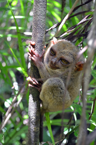 Canvas Prints Philippine Tarsier in Cebu, The Philippines. Often considered as the smallest monkey