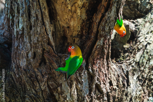 Spoed Foto op Canvas Grijze traf. The lovebird selects the nest in the hollow, Serengeti, Tanzania