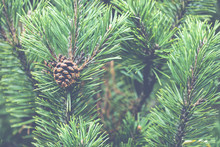 Fresh Green Soft Focus Close-up Of Pine Tree
