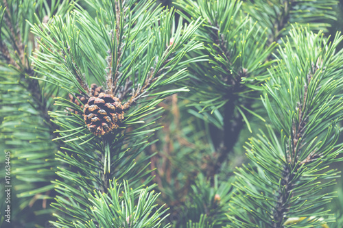 Obraz Fresh green soft focus close-up of pine tree - fototapety do salonu
