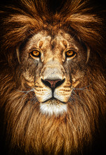 Portrait Of A Beautiful Lion, ...