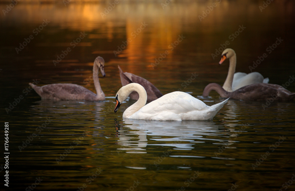 White and grey swans floating on the pond with the dark green water on the trees background in the morning