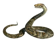 3d Render Of A Golden Giant Python Snake Isolated On White