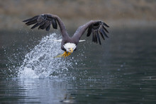 Bald Eagle Catching Fish And Flying Away With A Splash