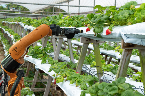 Obraz Agriculture vertical farming technology , artificial intelligence precision concepts, Farmer use smart farm automation robot assistant image processing for detection weed ,spray chemical. - fototapety do salonu