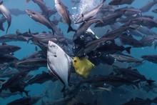 Diver Feeding Fish.