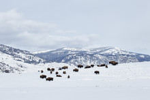 Bison Herd In The Snow With Mo...