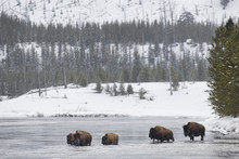 Bison Crossing The Madison River In Yellowstone National Park