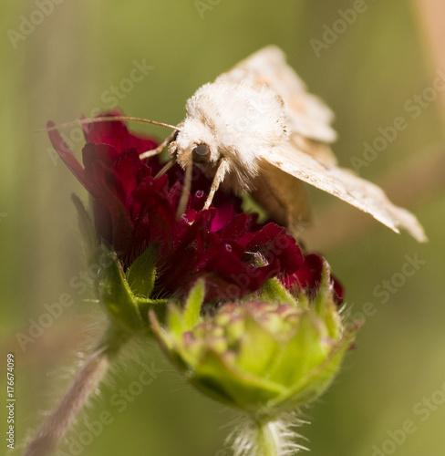 Fotografie, Obraz  Female Muslin moth (Diaphora mendica) on flower