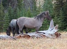 Grulla Stallion Wild Horse Nex...
