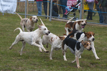 Hunt Fox Hounds Running  In The Main Ring Of The South Suffolk Show