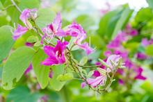 Closed Up Pink Flower (Bauhini...