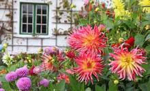 Garten Mit Dalien Am Haus