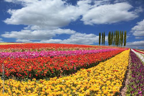 In de dag Ballon Huge fields of buttercups ripened for harvesting