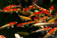 Carps Fish Or Carps Swim In Pond, Movement Of Swimming And Space, Vivid Color , Selective Focus,Girl Feeding Milk For Carps.