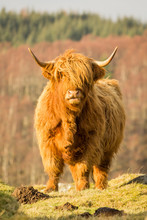 A Scottish Highland Cow Posing...