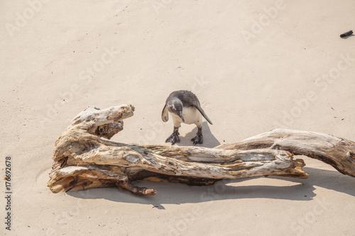 Fotografie, Obraz  Pinguin in Südafrika