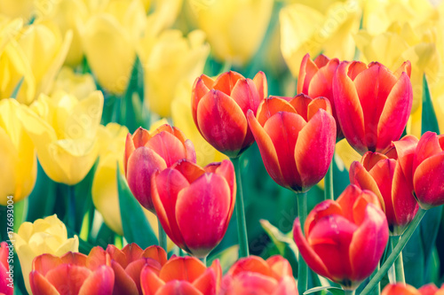 beautiful-tulip-flower-and-green-leaf-background-in-the-garden-at-winter-or-spring-day-for-postcard-beauty-decoration-and-agriculture-idea-concept-design