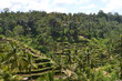 The rice field in Ubud - Bali. It's constructed using a philosophy of 'subak', that makes it as a UNESCO world heritage site