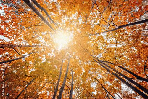 View of the maple trees crowns. © serjiob74